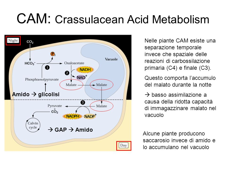 CAM: Crassulacean Acid Metabolism