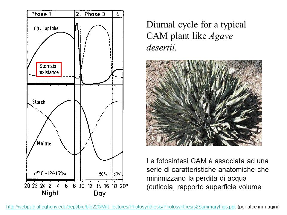 Diurnal cycle for a typical CAM plant like Agave desertii.