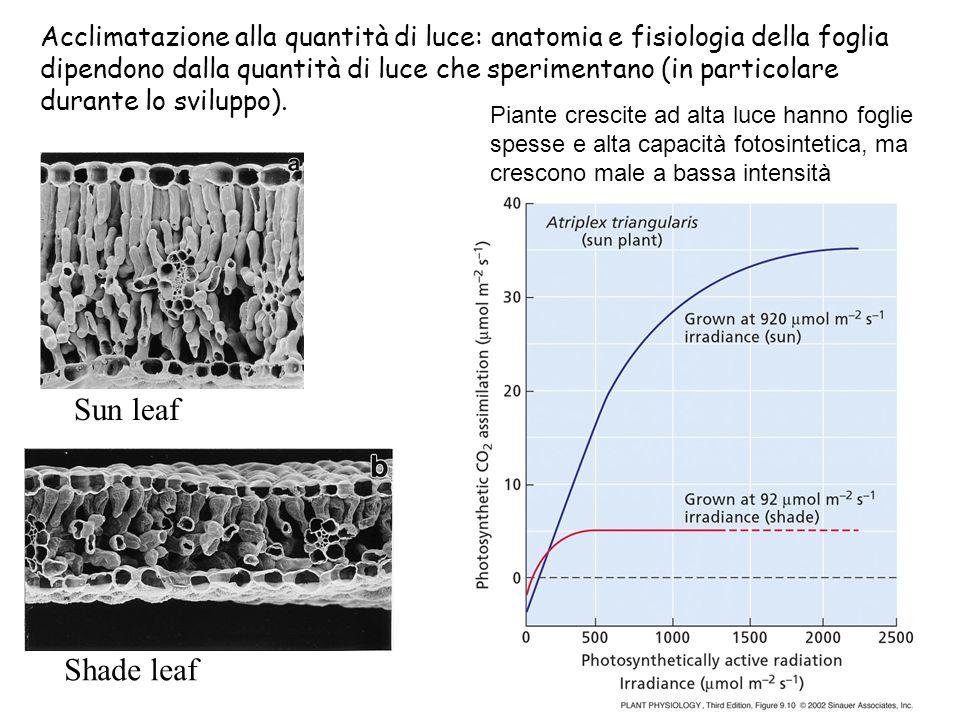 Acclimatazione alla quantità di luce: anatomia e fisiologia della foglia dipendono dalla quantità di luce che sperimentano (in particolare durante lo sviluppo).