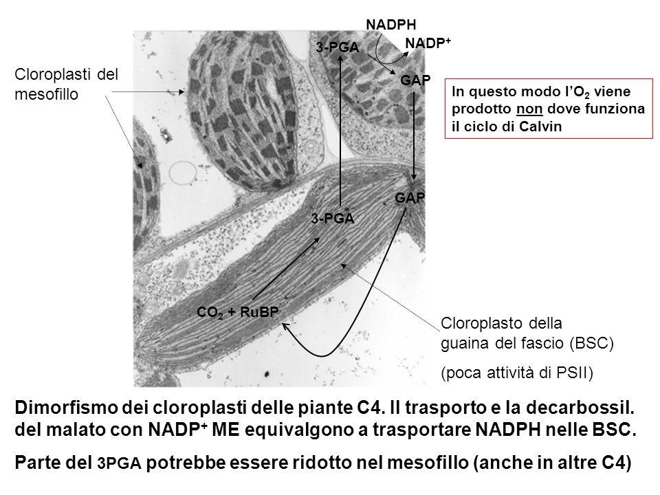 GAP NADPH. NADP+ 3-PGA. Cloroplasti del mesofillo. In questo modo l'O2 viene prodotto non dove funziona il ciclo di Calvin.