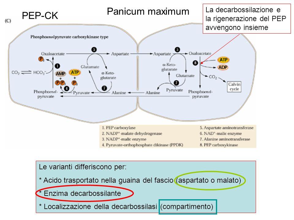 Panicum maximum PEP-CK