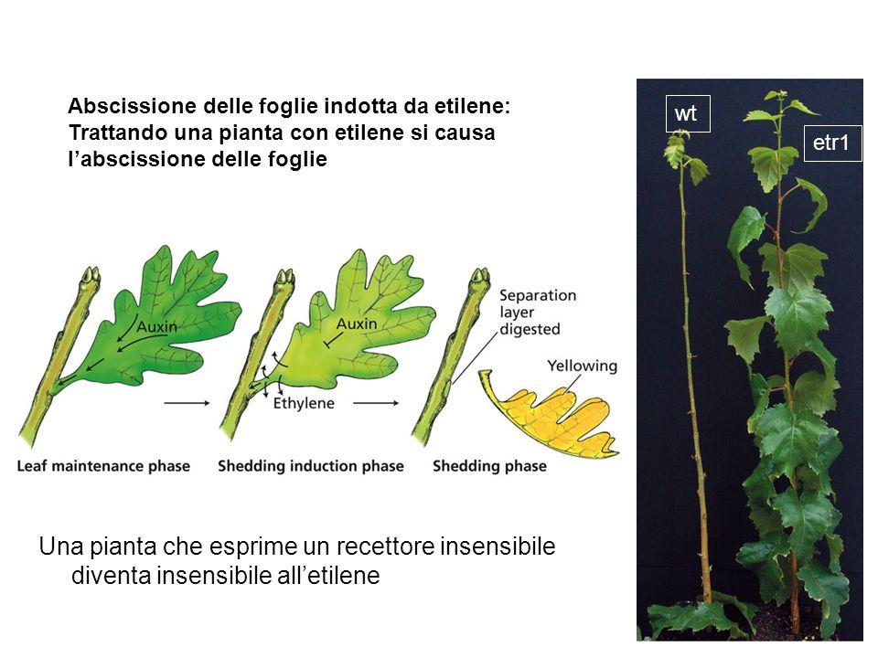 Abscissione delle foglie indotta da etilene:
