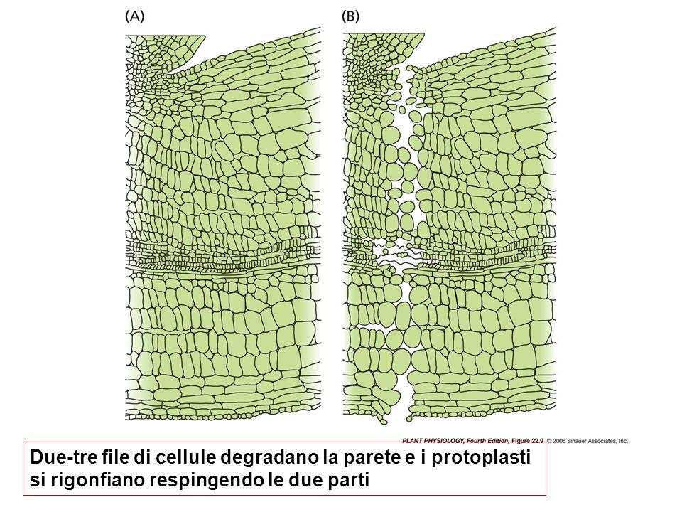 Due-tre file di cellule degradano la parete e i protoplasti si rigonfiano respingendo le due parti