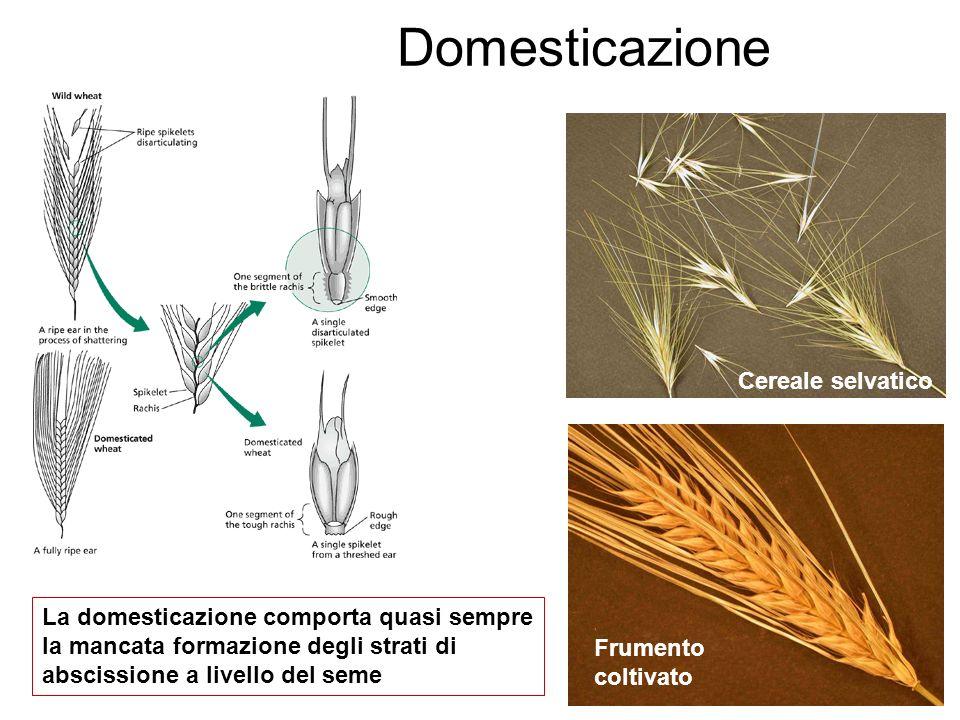 Domesticazione Cereale selvatico