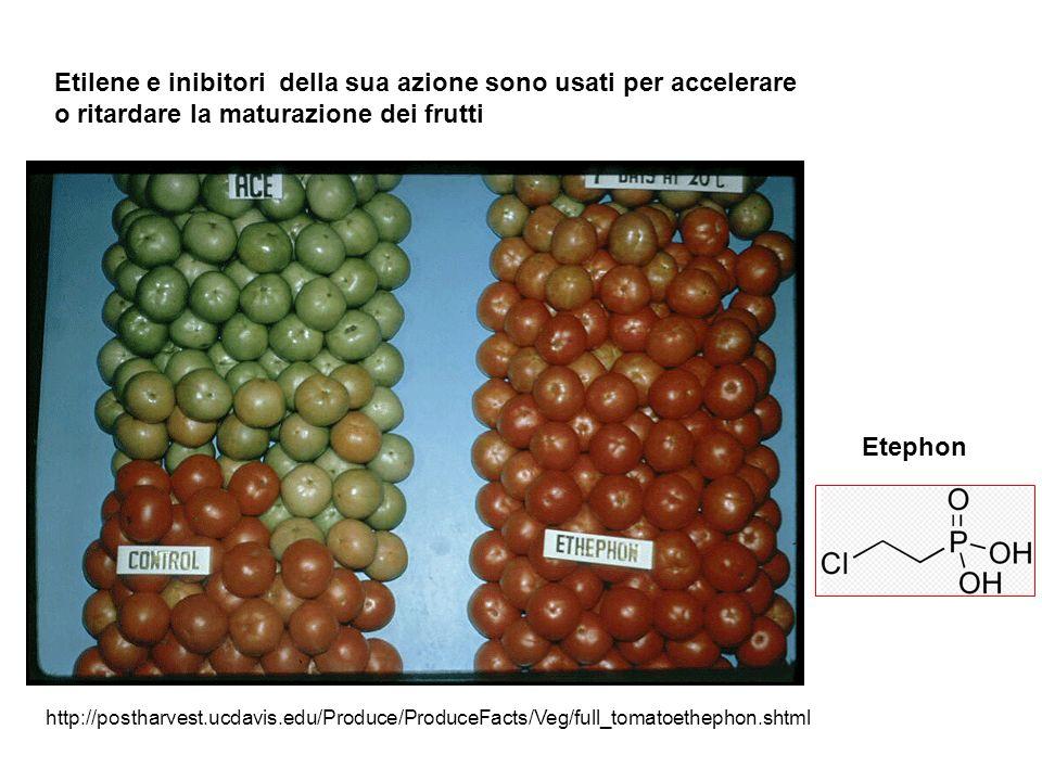 Etilene e inibitori della sua azione sono usati per accelerare o ritardare la maturazione dei frutti