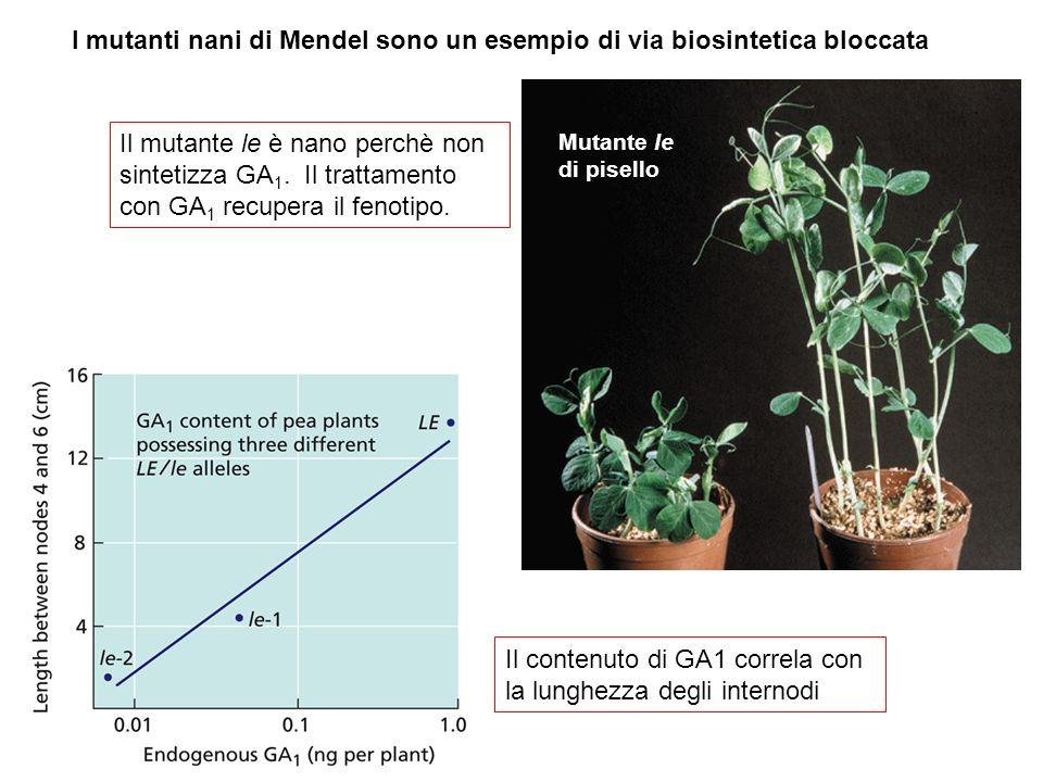 I mutanti nani di Mendel sono un esempio di via biosintetica bloccata