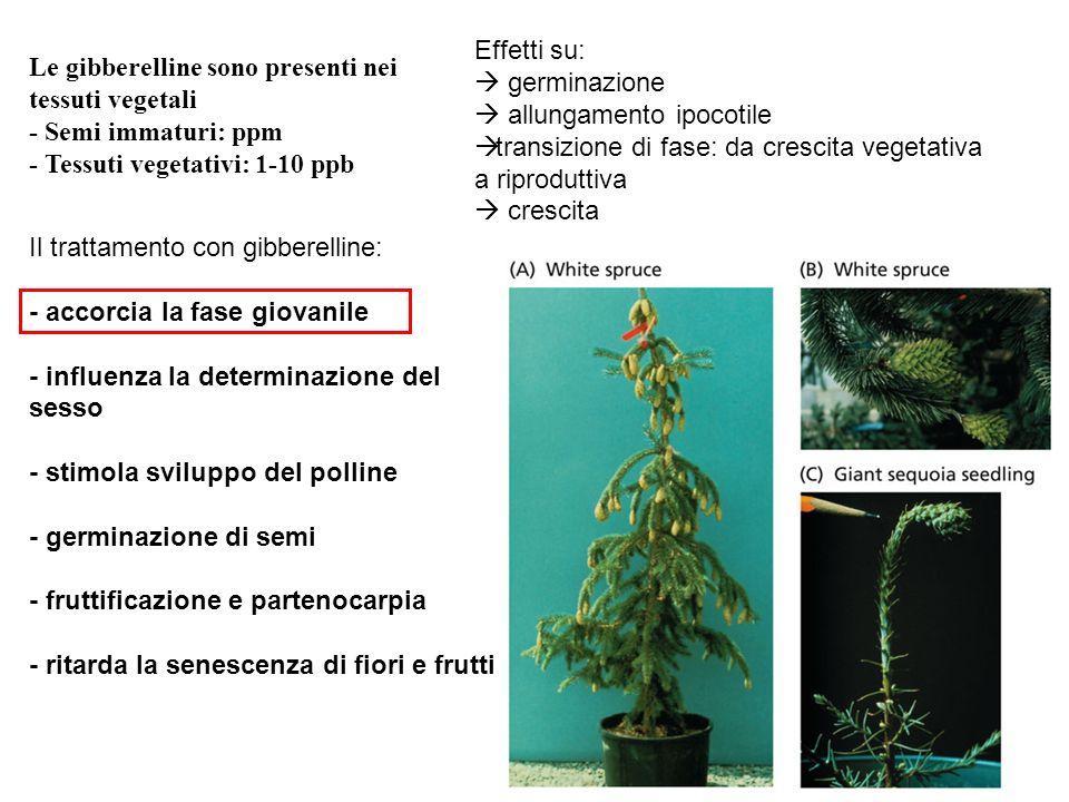 Effetti su: germinazione.  allungamento ipocotile. transizione di fase: da crescita vegetativa a riproduttiva.