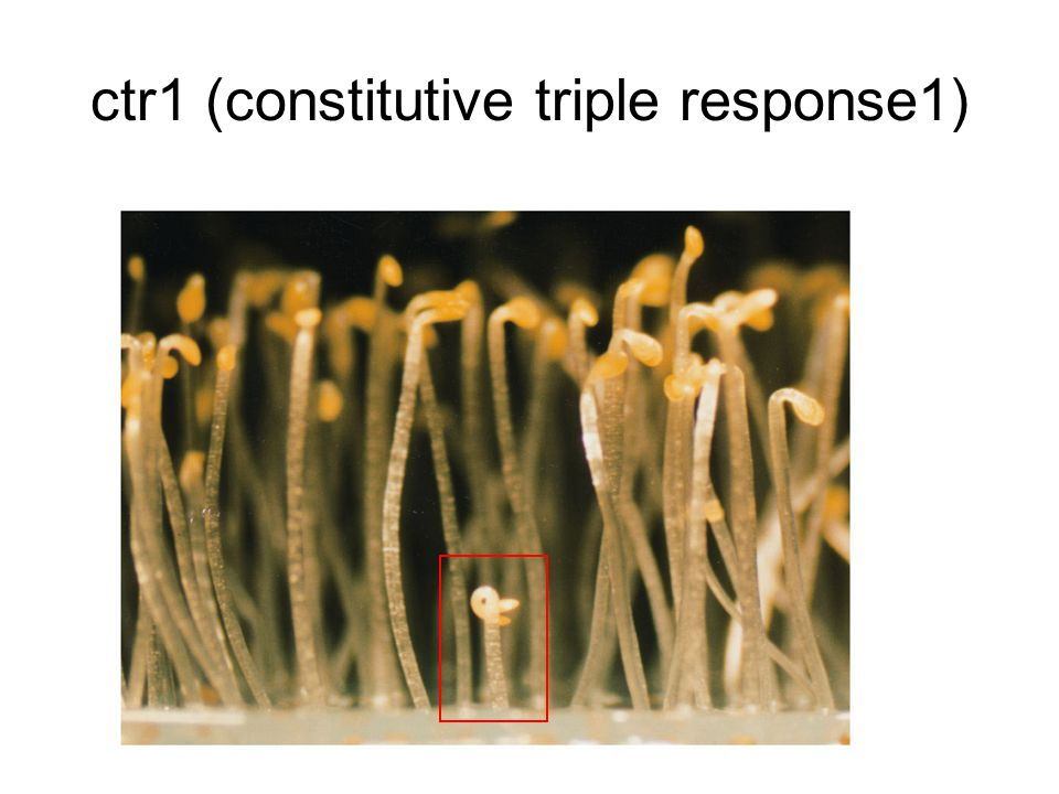 ctr1 (constitutive triple response1)