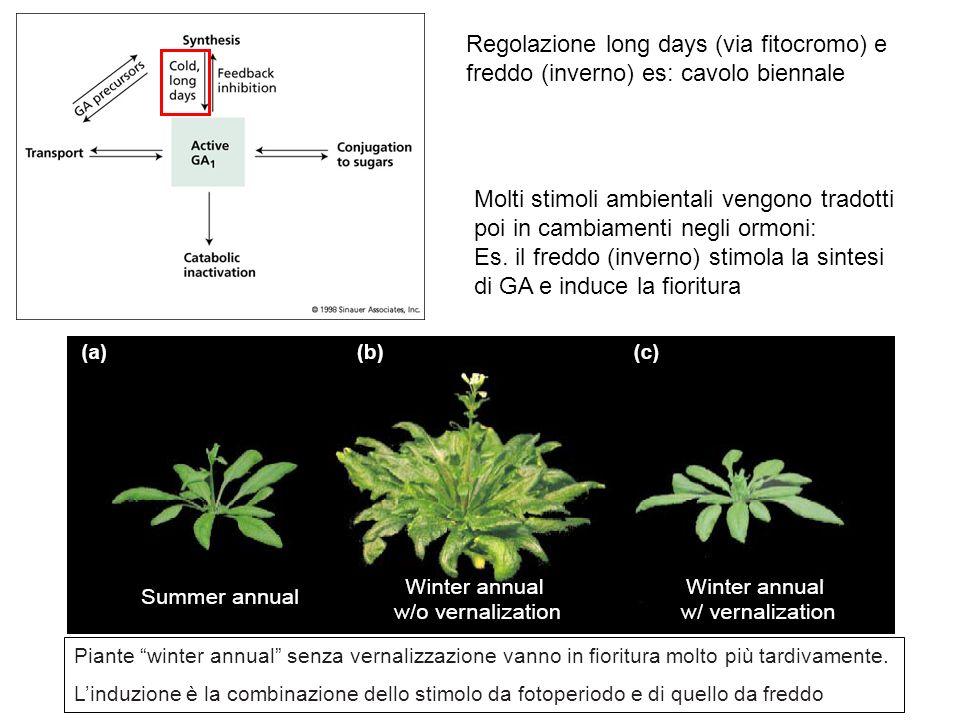 Es. il freddo (inverno) stimola la sintesi di GA e induce la fioritura