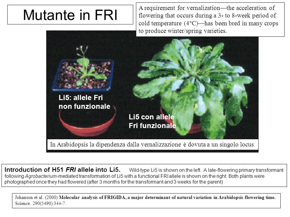 Mutante in FRI Li5: allele Fri non funzionale