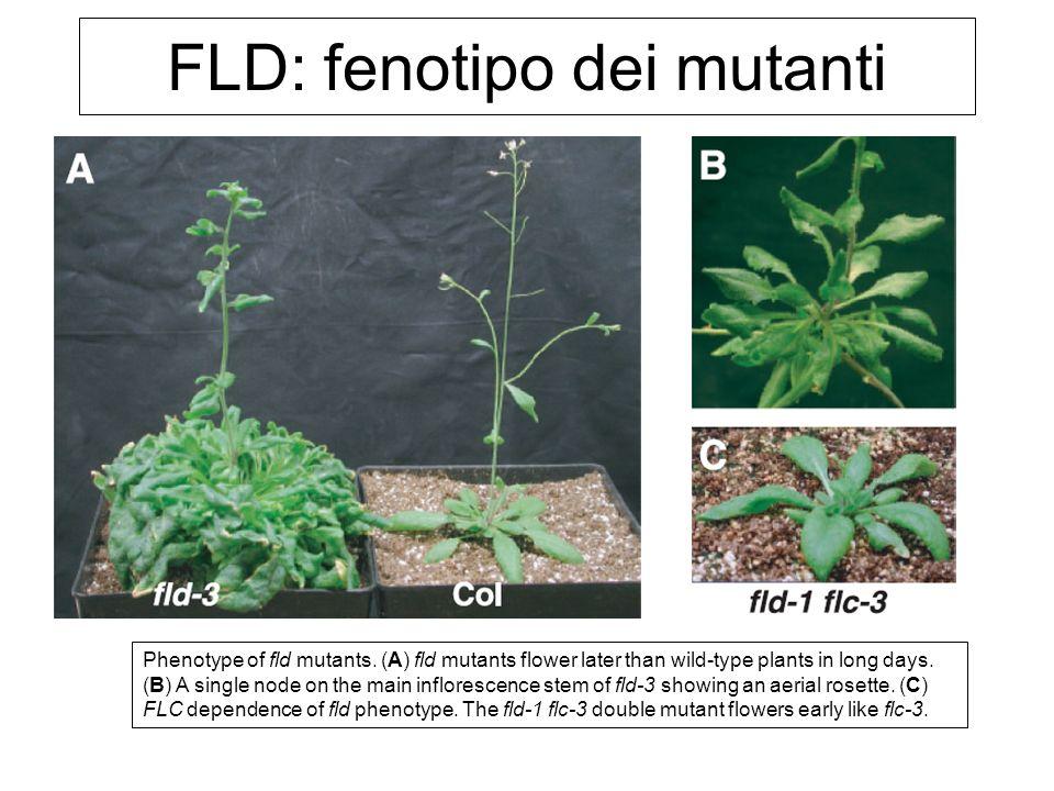 FLD: fenotipo dei mutanti