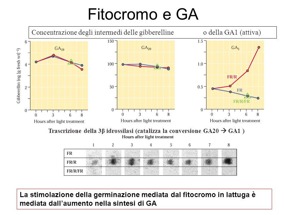 Fitocromo e GA Concentrazione degli intermedi delle gibberelline o della GA1 (attiva)