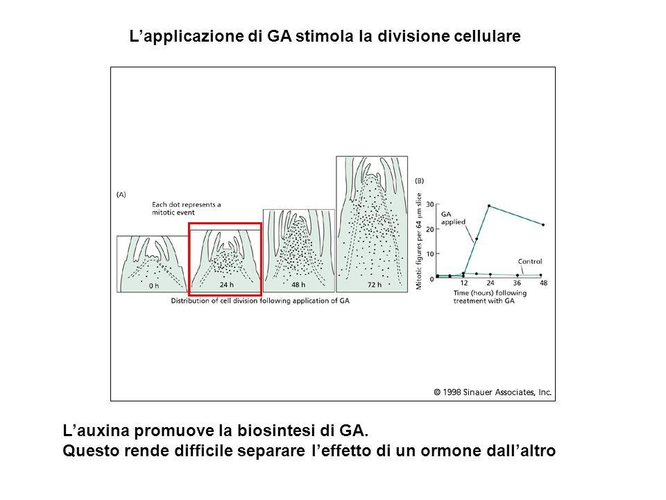 L'applicazione di GA stimola la divisione cellulare