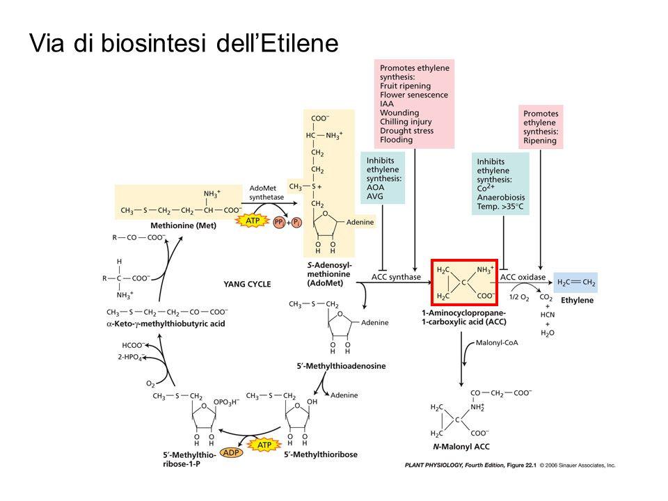 Via di biosintesi dell'Etilene