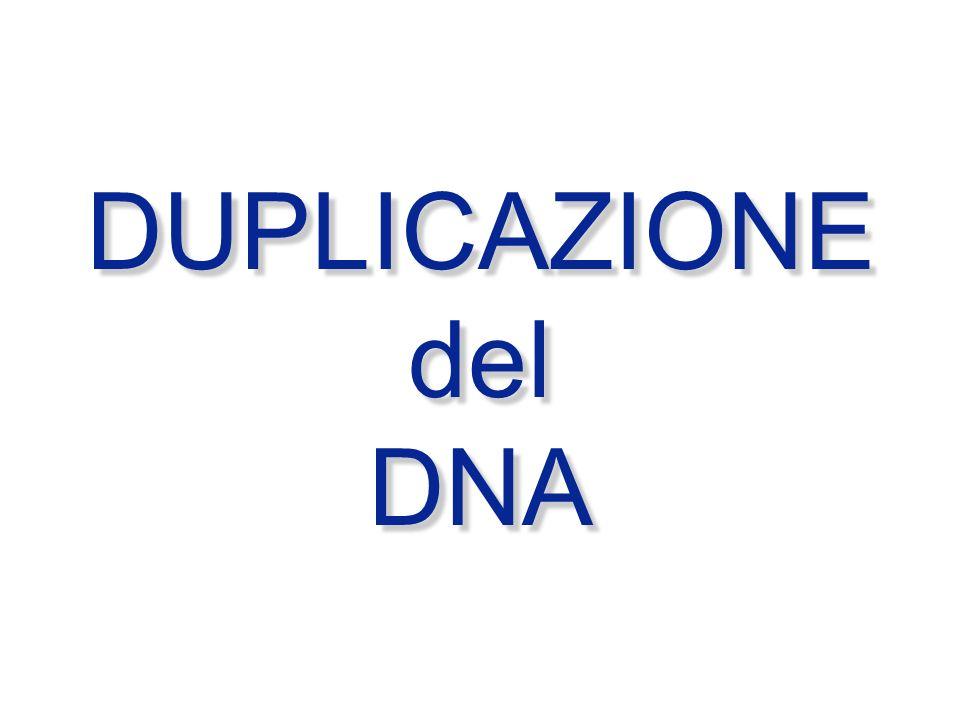 DUPLICAZIONE del DNA