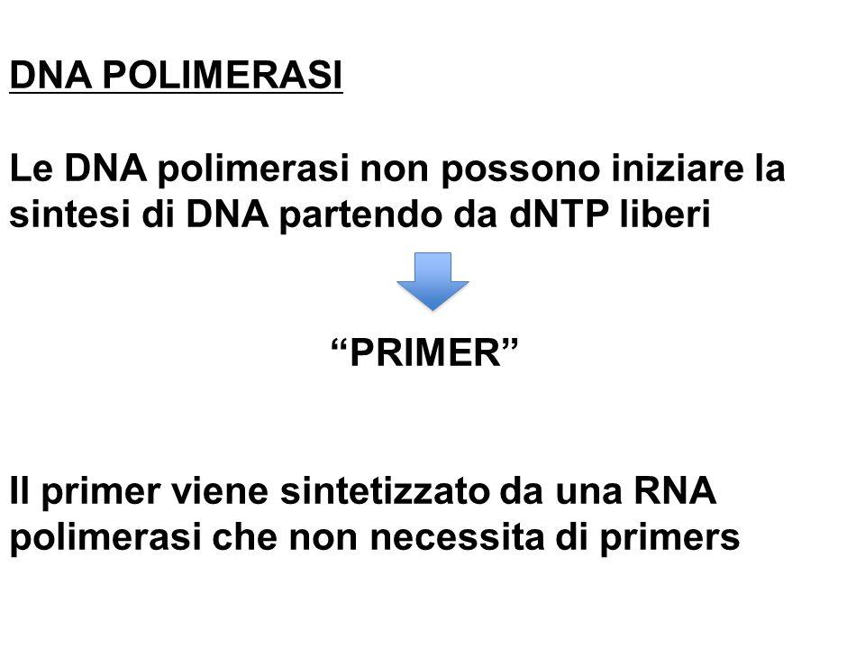 DNA POLIMERASI Le DNA polimerasi non possono iniziare la sintesi di DNA partendo da dNTP liberi. PRIMER