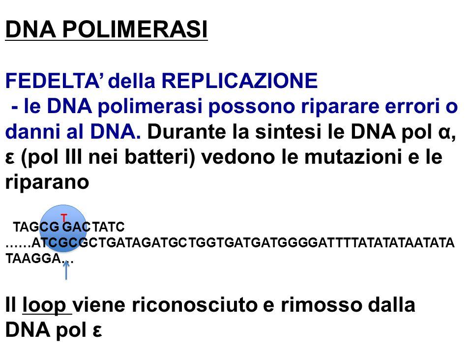 DNA POLIMERASI FEDELTA' della REPLICAZIONE