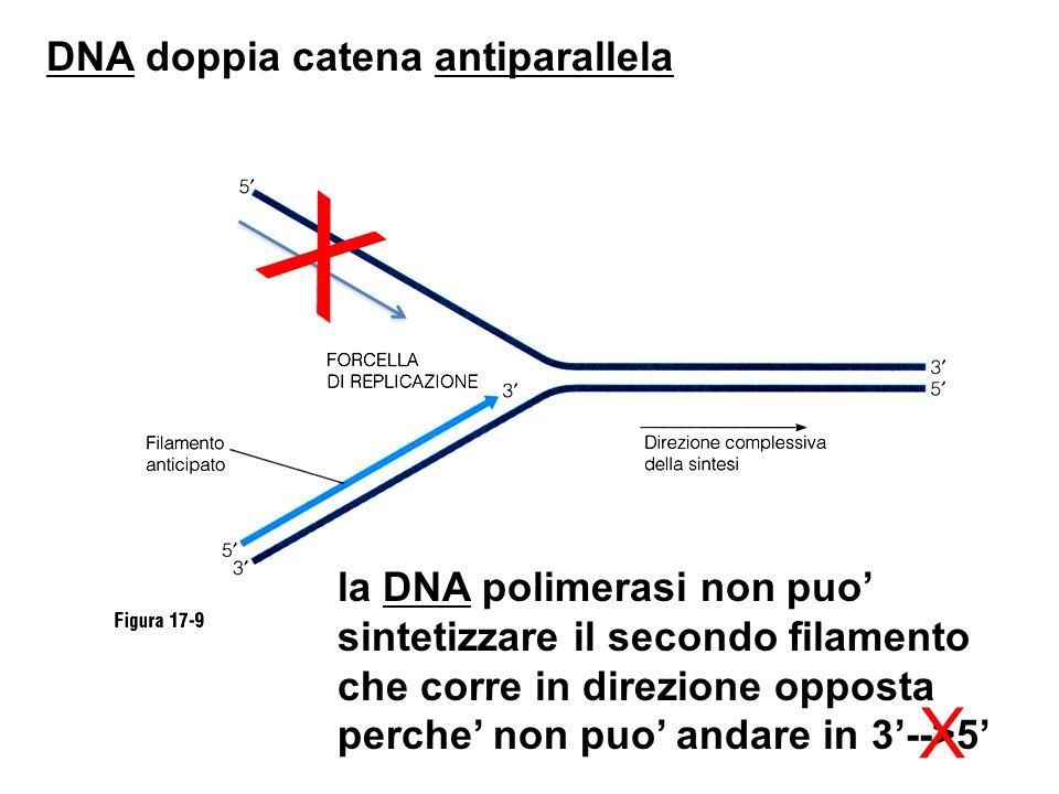 X X DNA doppia catena antiparallela la DNA polimerasi non puo'
