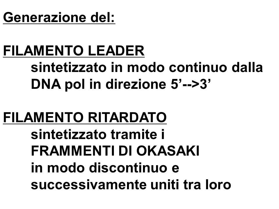 Generazione del: FILAMENTO LEADER. sintetizzato in modo continuo dalla. DNA pol in direzione 5'-->3'