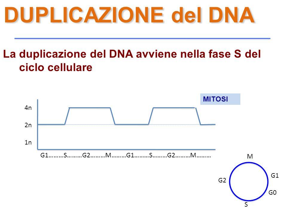 DUPLICAZIONE del DNA La duplicazione del DNA avviene nella fase S del ciclo cellulare. MITOSI. 4n.