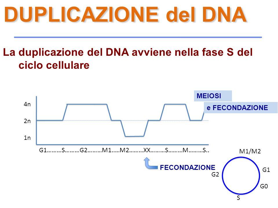 DUPLICAZIONE del DNA La duplicazione del DNA avviene nella fase S del ciclo cellulare. MEIOSI. 4n.