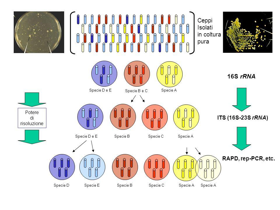 16S rRNA Ceppi Isolati in coltura pura ITS (16S-23S rRNA)