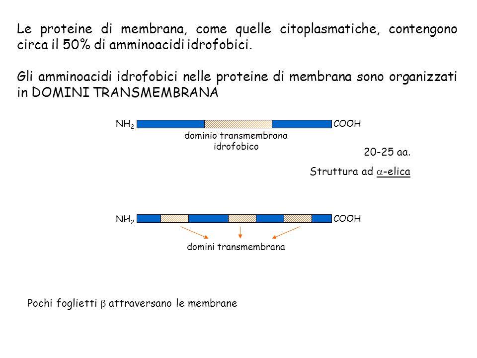 dominio transmembrana idrofobico