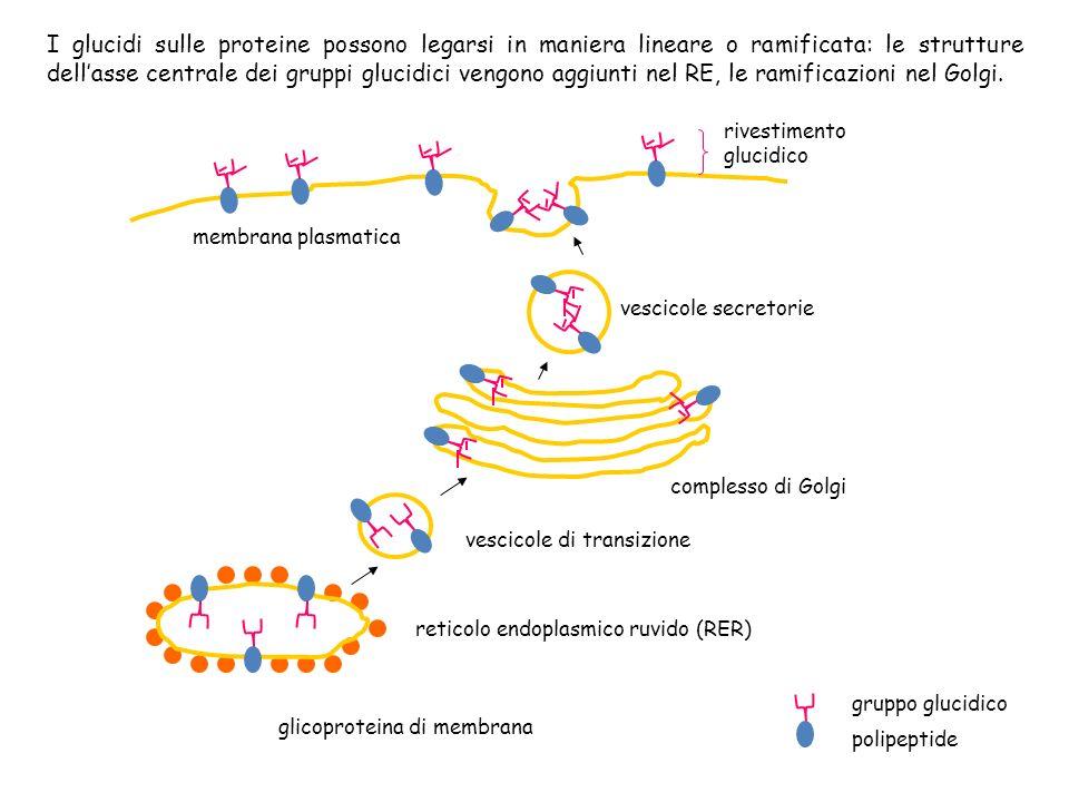 I glucidi sulle proteine possono legarsi in maniera lineare o ramificata: le strutture dell'asse centrale dei gruppi glucidici vengono aggiunti nel RE, le ramificazioni nel Golgi.
