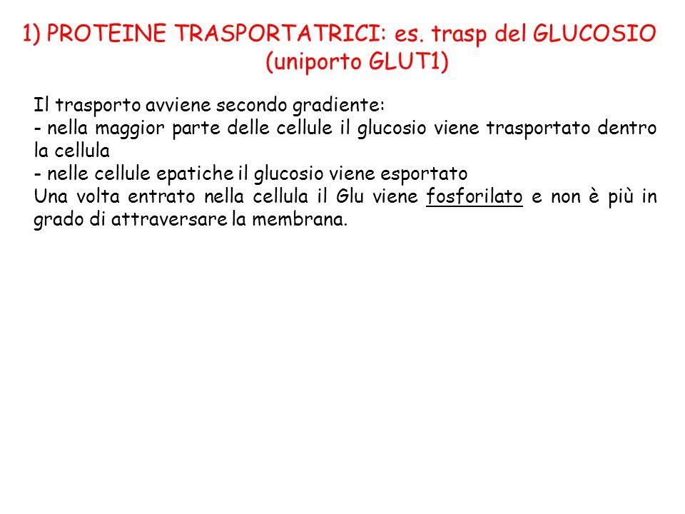 1) PROTEINE TRASPORTATRICI: es. trasp del GLUCOSIO (uniporto GLUT1)