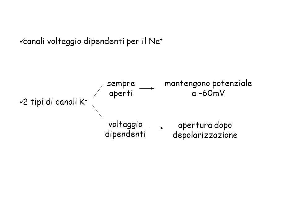 canali voltaggio dipendenti per il Na+