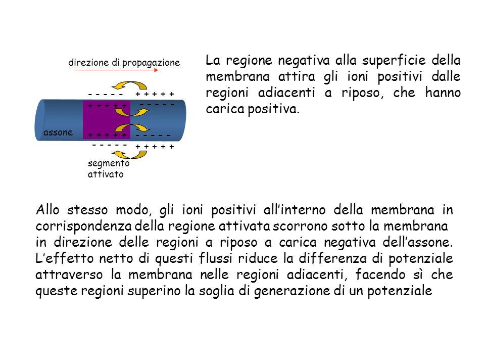La regione negativa alla superficie della membrana attira gli ioni positivi dalle regioni adiacenti a riposo, che hanno carica positiva.