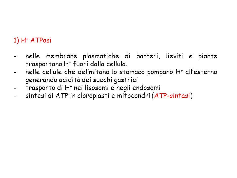1) H+ ATPasi nelle membrane plasmatiche di batteri, lieviti e piante trasportano H+ fuori dalla cellula.