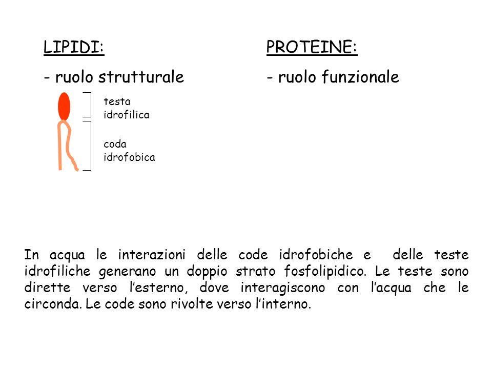 LIPIDI: - ruolo strutturale PROTEINE: - ruolo funzionale