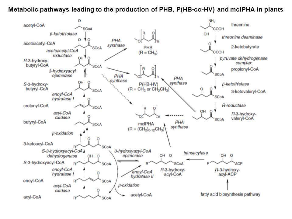 Metabolic pathways leading to the production of PHB, P(HB-co-HV) and mclPHA in plants