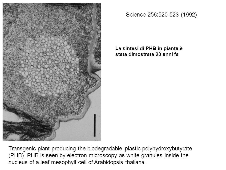 Science 256:520-523 (1992) La sintesi di PHB in pianta è stata dimostrata 20 anni fa.