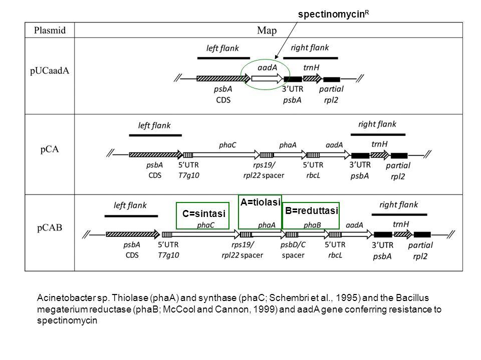 spectinomycinR A=tiolasi. C=sintasi. B=reduttasi.