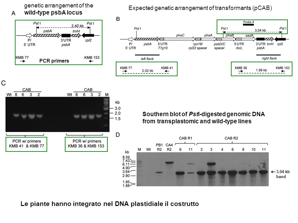Le piante hanno integrato nel DNA plastidiale il costrutto