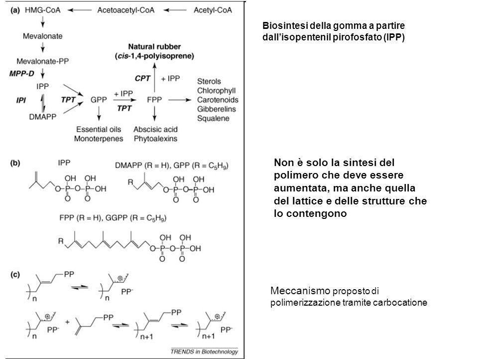 Meccanismo proposto di polimerizzazione tramite carbocatione
