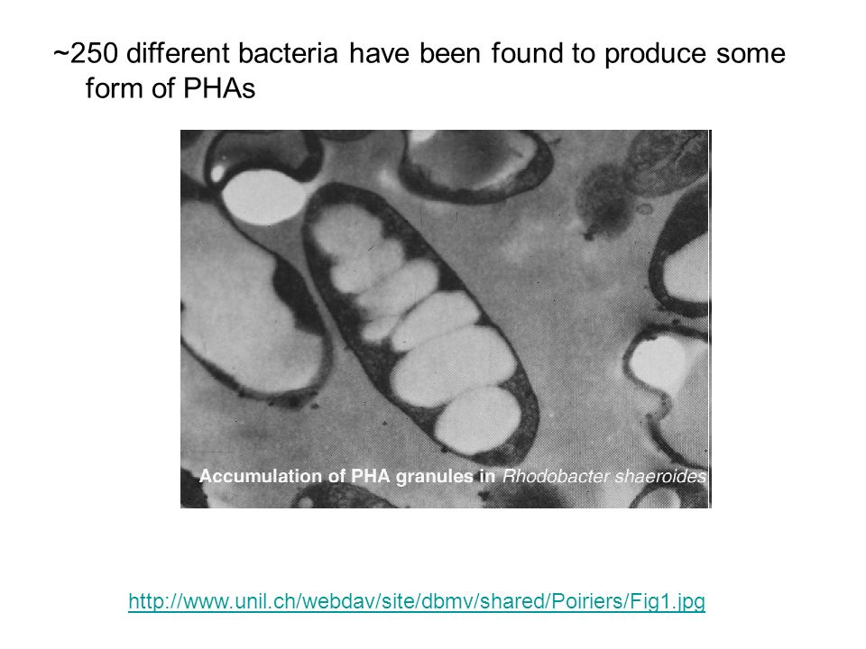 ~250 different bacteria have been found to produce some form of PHAs
