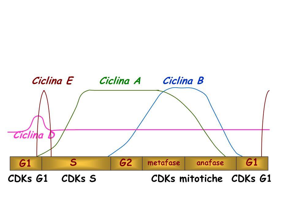 CDKs G1 CDKs S CDKs mitotiche CDKs G1