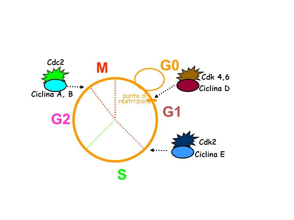 G0 M G1 G2 S Cdc2 Cdk 4,6 Ciclina D Ciclina A, B Cdk2 Ciclina E