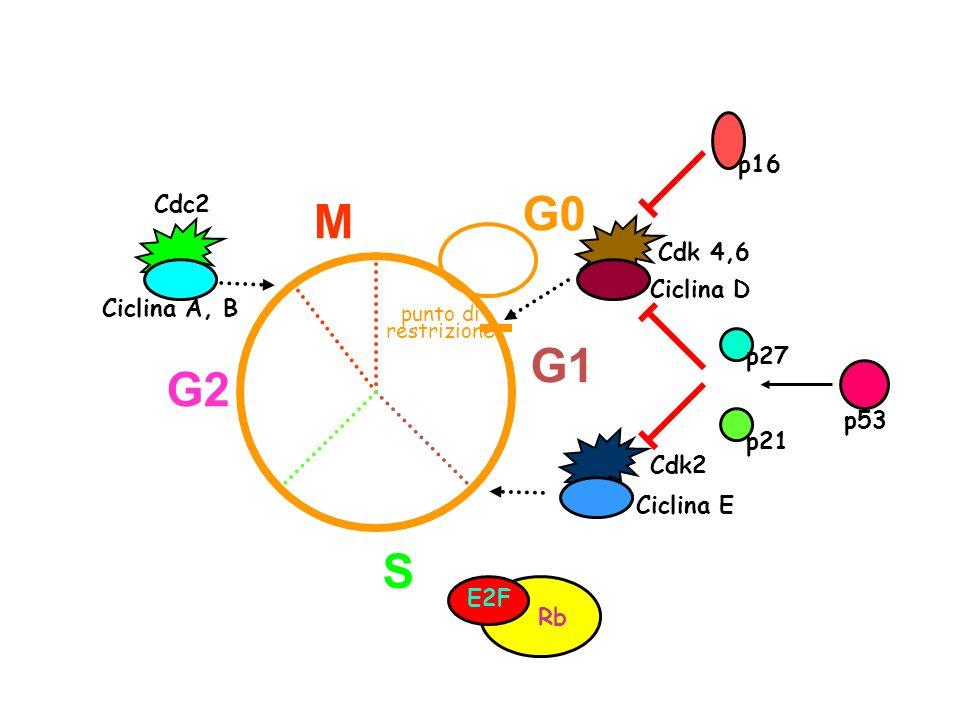 G0 M G1 G2 S p16 Cdc2 Cdk 4,6 Ciclina D Ciclina A, B p27 p53 p21 Cdk2