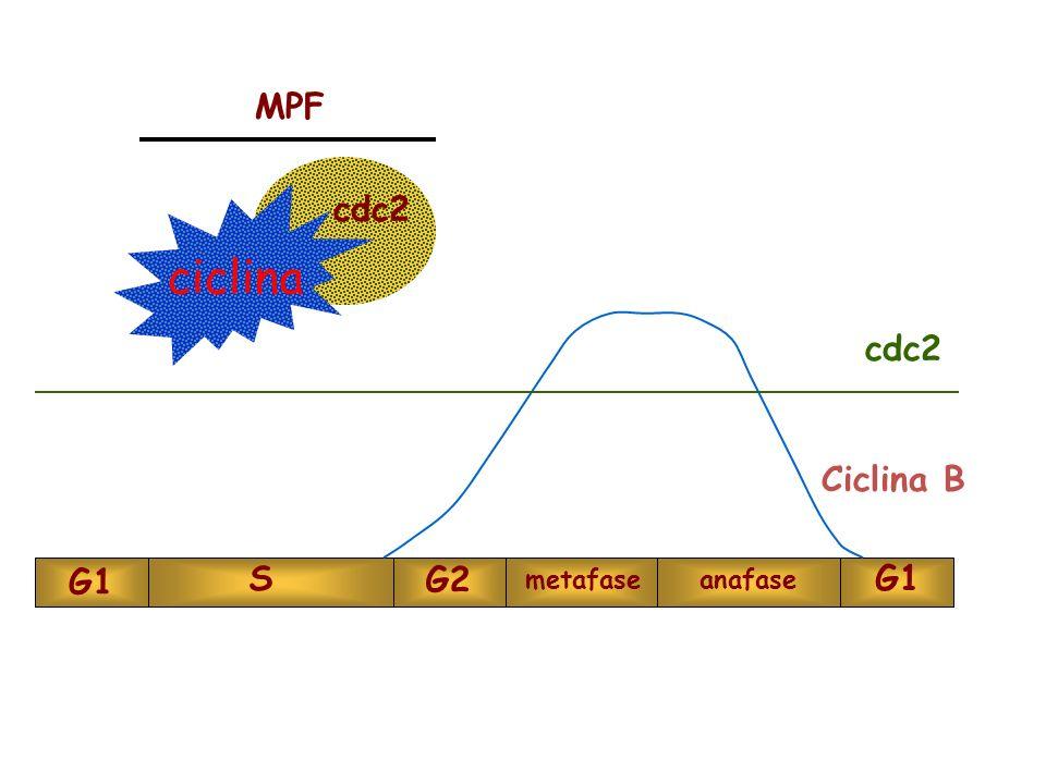 ciclina cdc2 MPF cdc2 Ciclina B G1 S G2 metafase anafase G1