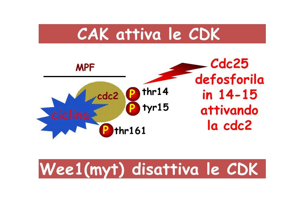 Wee1(myt) disattiva le CDK