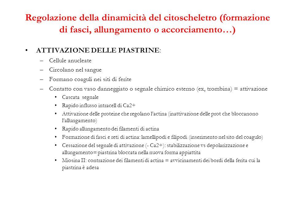 Regolazione della dinamicità del citoscheletro (formazione di fasci, allungamento o accorciamento…)