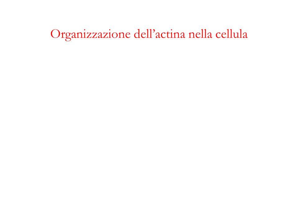 Organizzazione dell'actina nella cellula