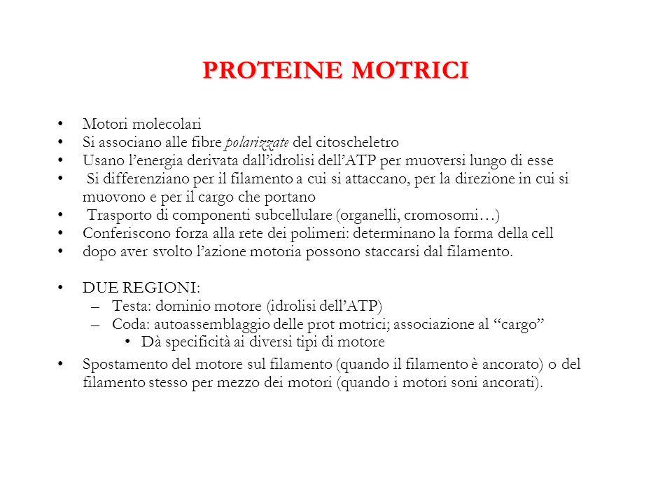 PROTEINE MOTRICI Motori molecolari