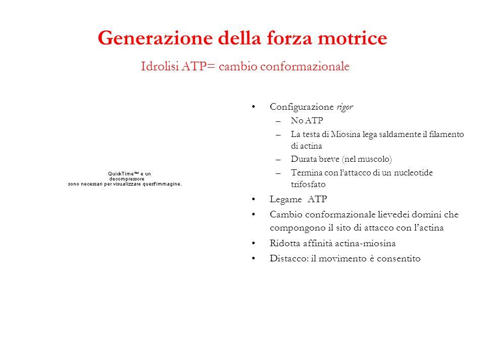 Generazione della forza motrice Idrolisi ATP= cambio conformazionale