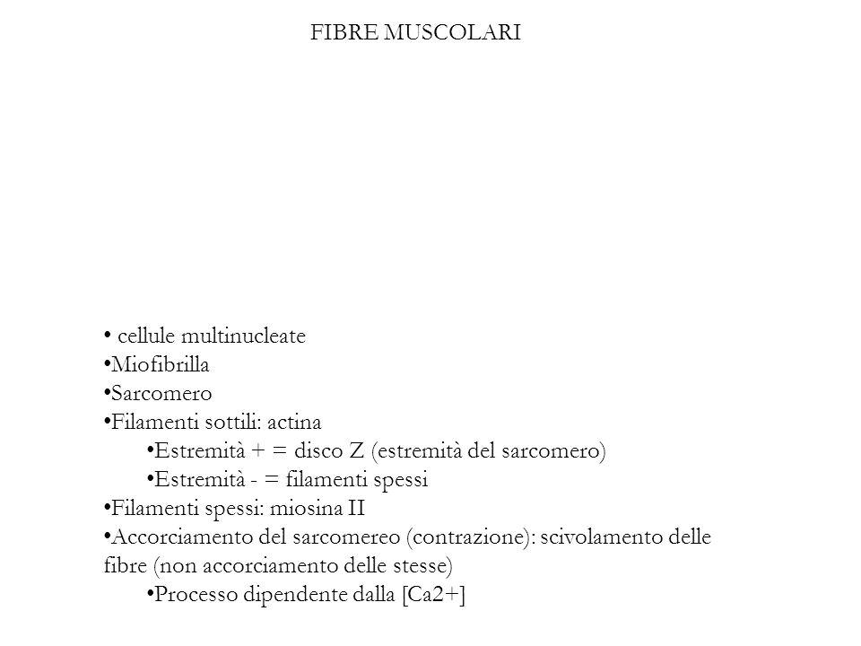 cellule multinucleate Miofibrilla Sarcomero Filamenti sottili: actina