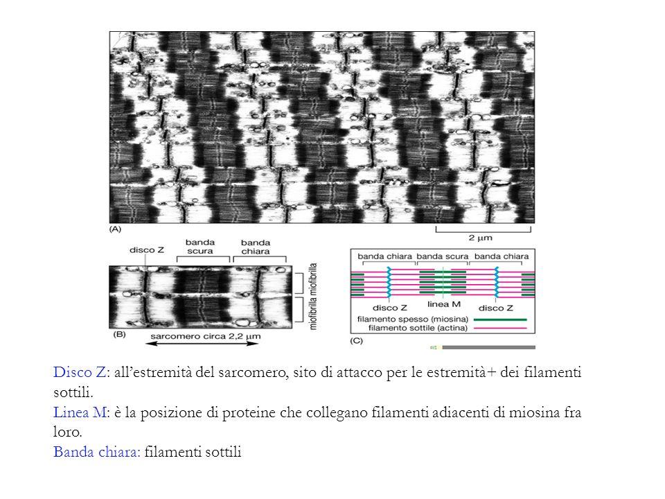 Banda chiara: filamenti sottili
